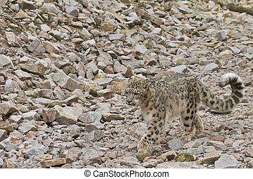 Walking Snow Leopard - Snow leopard walking in a rocky...