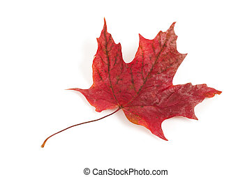 Red Maple Leaf - Red maple leaf isolated on white background