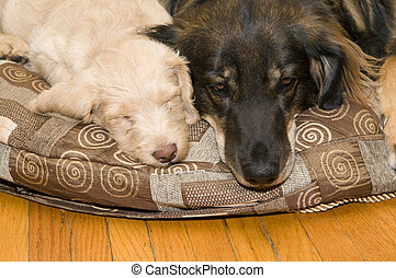 Young and Old Dogs - Adult dog resting on a pillow next to a...