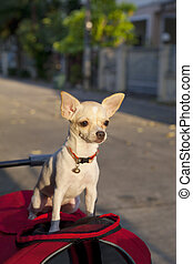 chihuahua or chiwawa dog - chihuahua or chiwawa standing and...