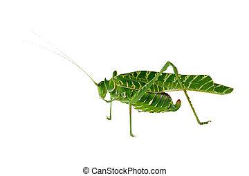 Acacia katydid - African Acacia katydid (Terpnistria...