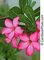 azalea, fiori