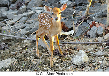 Baby sika deer is reddish-brown with white spots, and spends...