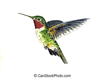 Broad Tailed Hummingbird - Watercolor Painting of a Broad...