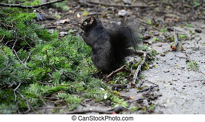 Many black squirrels feeding under green pine tree in the...