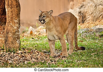 cougar - The cougar, also known as the puma