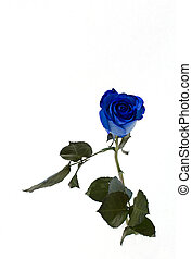 blue rose over snow