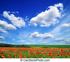 poppy flowers against the blue sky