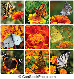 collage with butterflies sitting on marigold flower