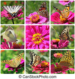 collage with butterflies sitting on zinnia