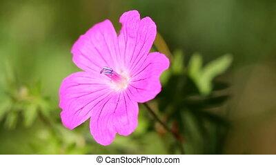 Geranium flower - Purple Geranium flower