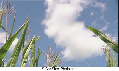 Maize plants against a blue sky - Low angle view looking up...