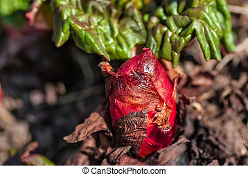 Rhubarb plant with bud in the vegetable garden in the...