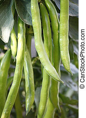 Fava beans - Cultivation of Fava beans in the field