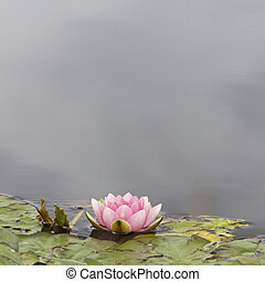 Lilly, Flower - Lilly pad and flower in a pond