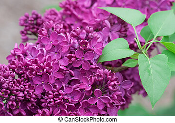 Spring Lilacs - Lilacs close up and in full bloom.