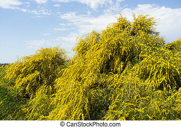 Acacia - Huge acacia shrub flowering at the beginning of...