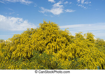 Mimosa - Huge mimosa shrub in full yellow flower