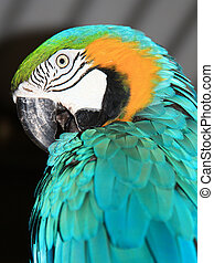 Blue Macaw - A close up of a beautiful blue macaw grooming...