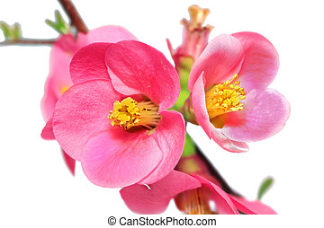 Flowers of Chaenomeles Japonica (Japanese Quince)...