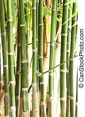Bamboo trees - Group of bamboo trees in forest