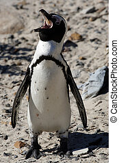 african penguin spheniscus demersus the only example of...