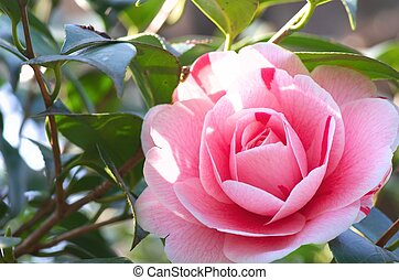 large pink camellia - this photo is taken in Nagoya city