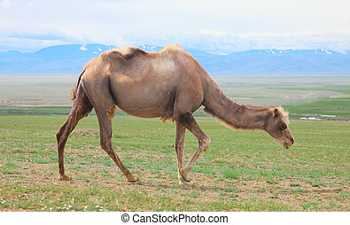 Bactrian camels in the steppes of the Mongolian Altai