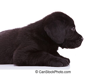 labrador retriever puppy dog looking very tired