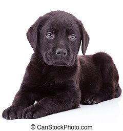 black labrador retriever puppy dog lying down and looking at...