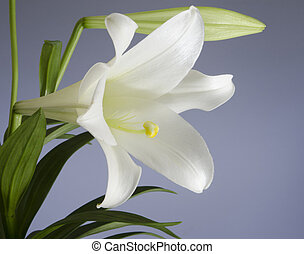 Easter Lily Plant - Easter Lily bloom on a blue background