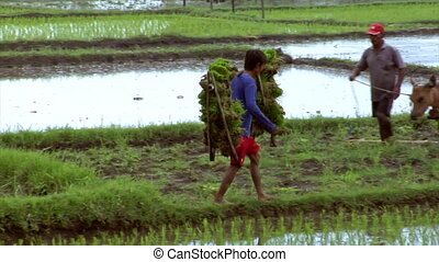 boy carries rice plants