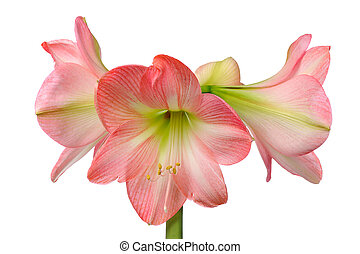 blooming amaryllis - flower of pink amaryllis isolated on...