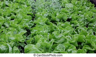 Agriculture - Watering of fresh lettuce in a greenhouse