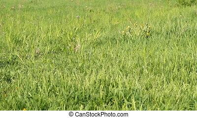 English Cocker Spaniel runing on a green meadow