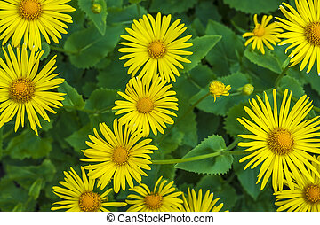 aster asters yallow flower floral spring plants nature -...