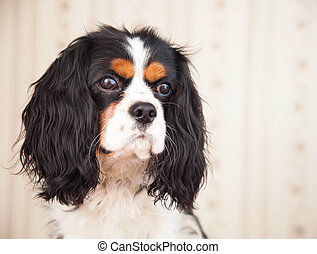 Dog spaniel indoor.