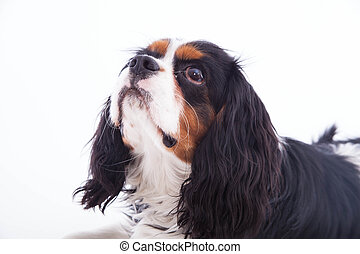 Dog spaniel on the white background