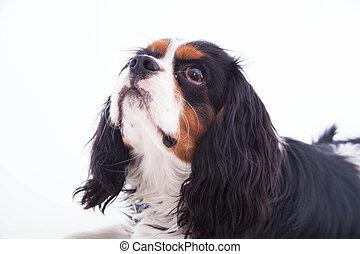 chien, épagneul