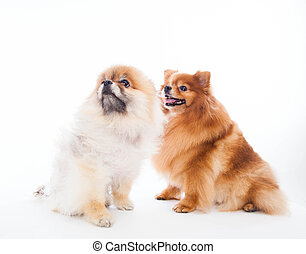 Pomeranian dogs isolated on a white background