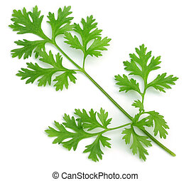 Single leaf of long coriander - Single leaf of eryngium...