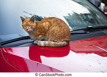 Cat on da Hood - A red headed cat rests alertingly on the...