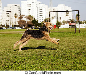 Airdale Terrier Dog Running at the Park - An Airdale Terrier...