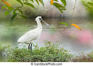 Black-faced Spoonbill,juvenile bird, Rare and conservation...