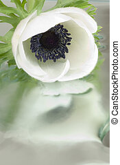 Anemone - White anemone with reflection
