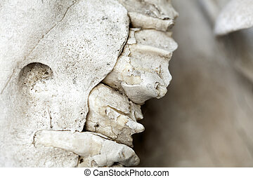 Part of a camels skull, a few of its teeth