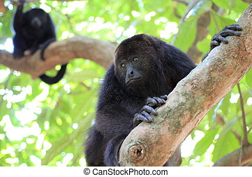 Black Howler Monkeys in Belize - Two wild Black Howler...
