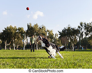 A Border Collie dog caught in the middle of running after a red rubber ball, on a sunny day at an urban park. His owner can be seen observing the action from the background.