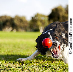 Border Collie Fetching Dog Ball Toy at Park - A Border...