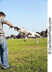 Bull Terrier Mid-Air in Park - Bull Terrier dog caught...